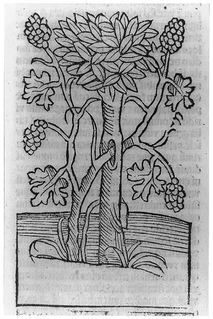 [Viticultural scenes - grape vine]