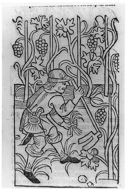 [Viticultural scenes - man using two-pronged hoe in vineyard]