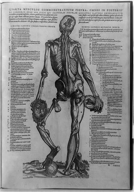 Quarta musculos commonstrantium figura, omnes in posteriori corporis