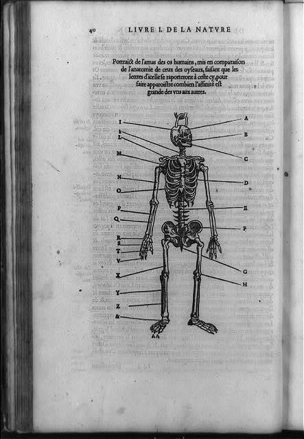 Portraict de l'amas des os humains, mis en comparaison de l'anatomie de ceux des oyseaux ...