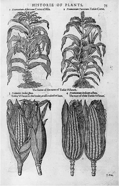Corn ears and stalks