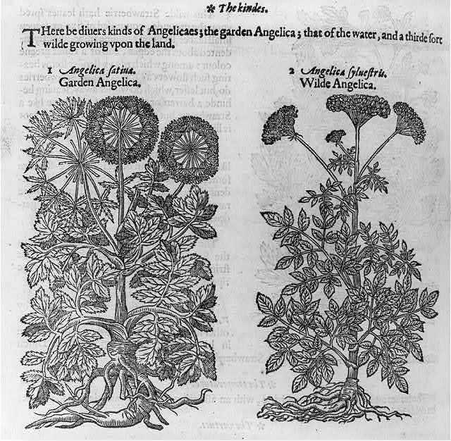 [Garden angelica and wilde angelica. 2 flowering herbs]