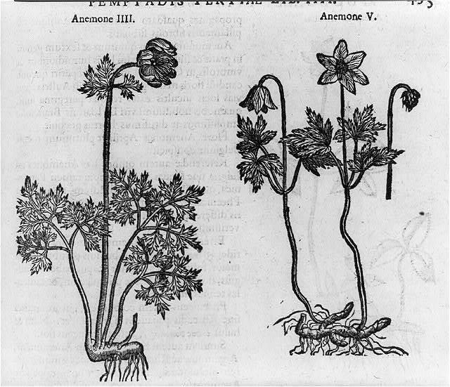 Anemone IIII and Anemon V