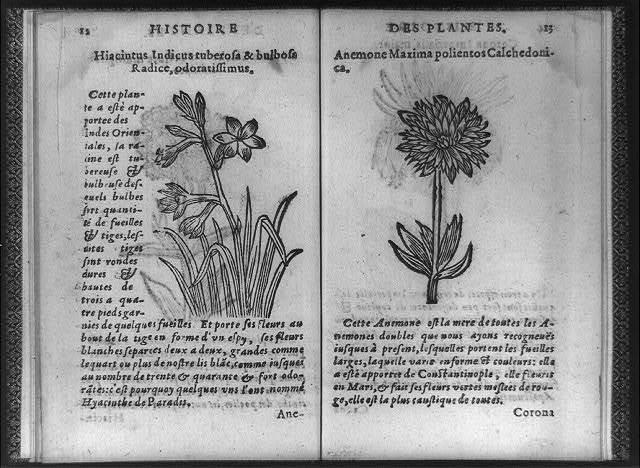 Hiacinthus indicus tuberosa & bulbosa radice, odoratissimus; anemone maxima polientos calchedoni