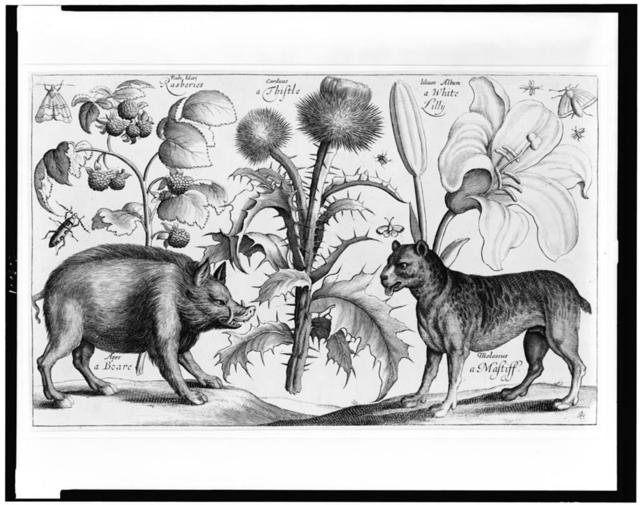 [Boar, mastiff, thistle, raspberries, lily, moths and insects]