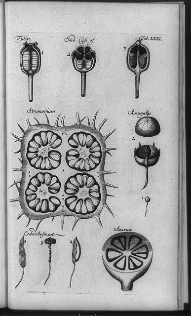 [Microscope studies of structure of different types of seeds: tulip, stramonium, anagallis, coded arsmart, and azarum]
