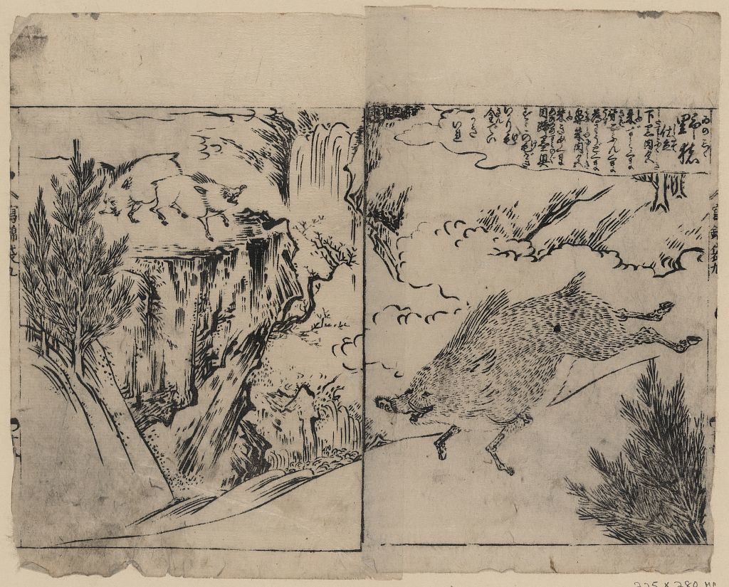 [Wild boars running, on cliffs, and near pine trees]