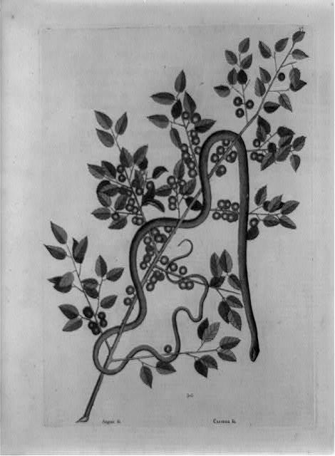 [Caffena vera Floridanorum, coffee plant with green snake]