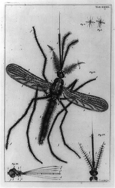 [Male gnat, with details of two heads, and two smaller gnats, as seen through a microscope]