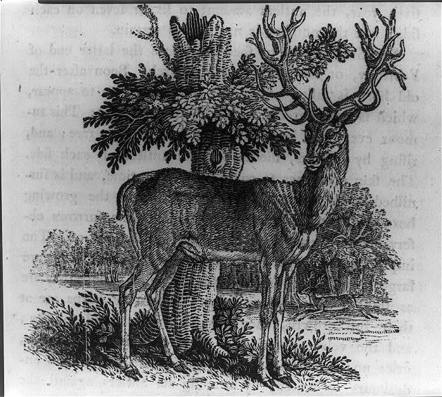 The Stag, or Red Deer