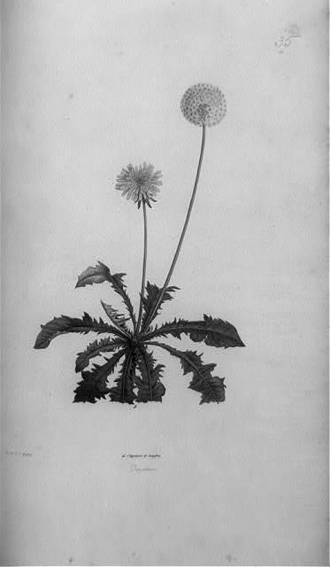 Dandelion / par P.J. Redouté.