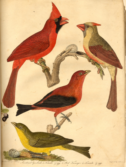 American ornithology, or, The natural history of the birds of the United States : illustrated with plates, engraved and colored from original drawings taken from nature