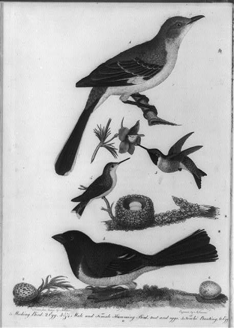 [Birds, nests and eggs] / drawn from nature by A. Wilson ; engraved by A. Lawson.