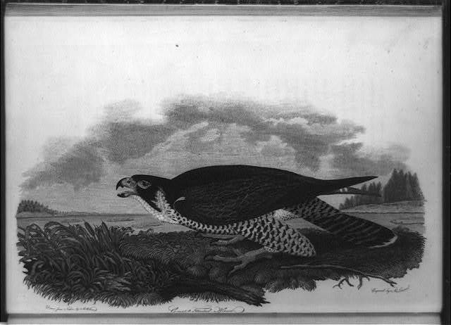 Great-footed hawk / drawn from nature by A. Wilson ; engvd. by A. Lawson.