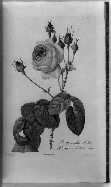 Rosa centifolia bullata = rosier a feuilles de laitue / P.J. Redouté, pinx.