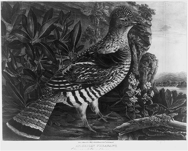 American pheasant / from nature & on stone Childs & Inman Lithrs. 122 Walnut St.