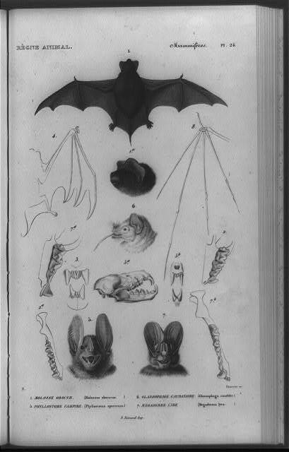 [Different species of bats, with details of heads, wing and teeth structure] / Fournier, sc. ; N. Remond, imp.
