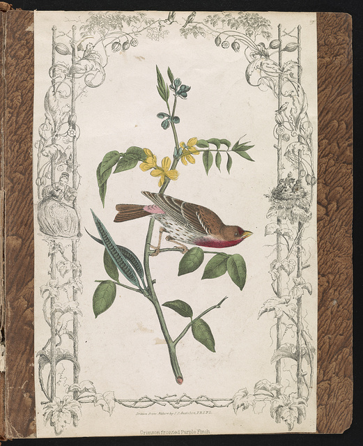Crimson fronted Purple Finch / Drawn from nature by J.J. Audubon, F.R.S.F.L.