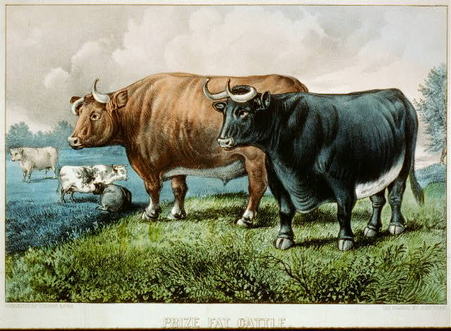 Prize fat cattle