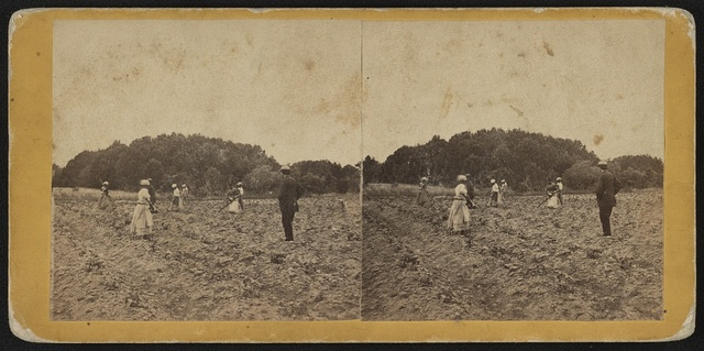 Cotton field, Retreat Plantation, Port Royal Island, S.C. / Photographed by Hubbard & Mix, Beaufort, S.C.