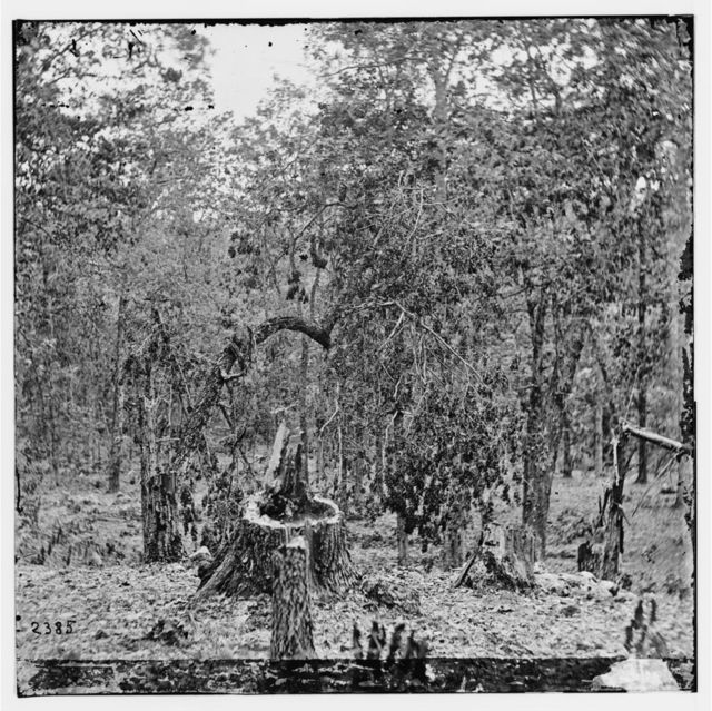 Gettysburg, Pennsylvania. Woods on Culp's Hill showing the effect of musket fire