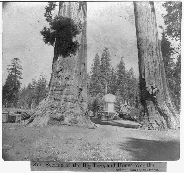 Section of the Big tree, and House over the Stump, from the Sentinels