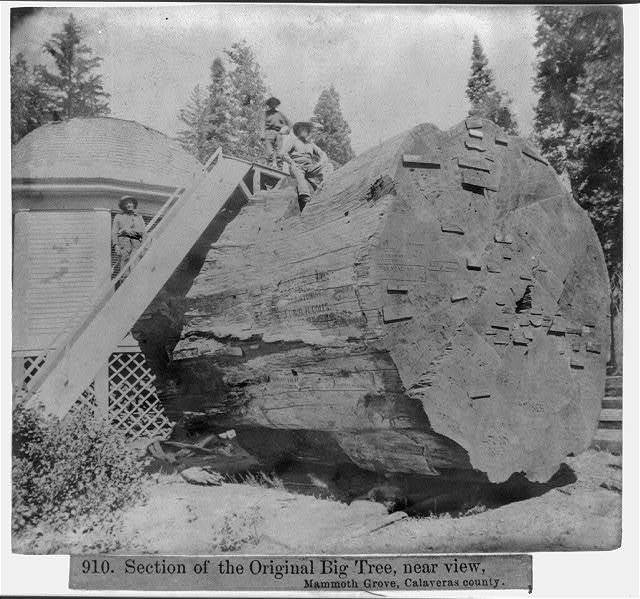 Section of the Original Big tree, near view, Mammoth Grove, Calaveras County