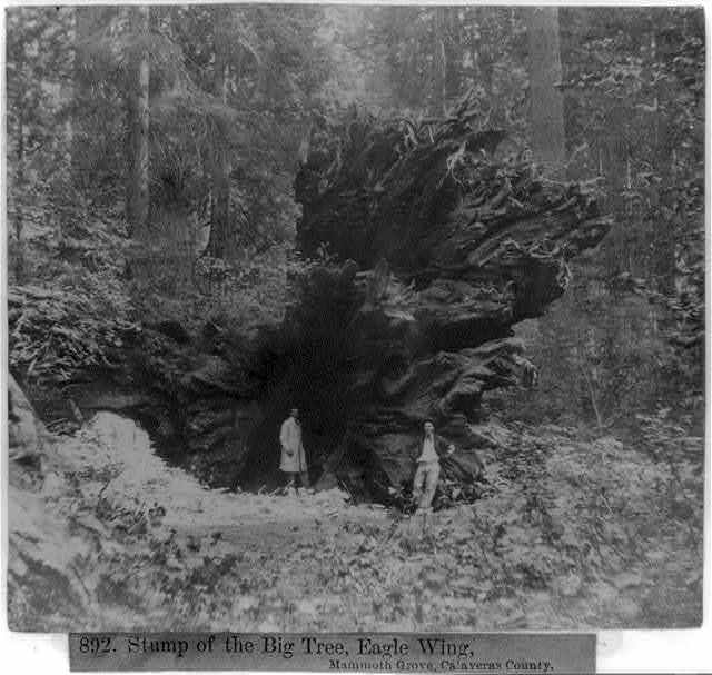 Stump of the Big Tree, Eagle Wing, Mammoth Grove, Calaveras County