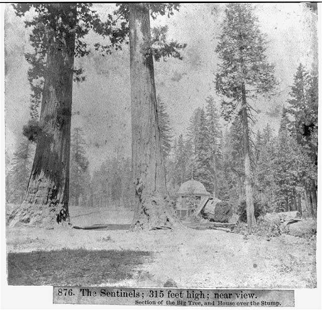 The Sentinels: 315 feet high; near view - Section of the Big Tree and House over the Stump