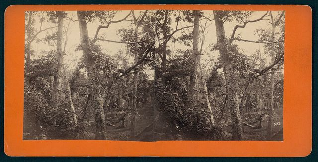 Battle-field of Gettysburg Trees showing the effect of musketry, opposite the Federal breast-works on Culp's Hill.