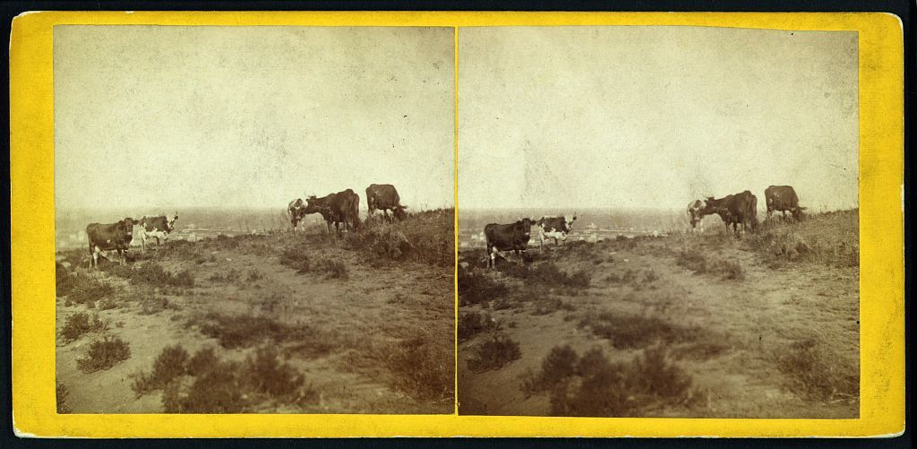 Cattle grazing on Mount Oriad, Lawrence, Kansas, 323 miles west of St. Louis, Mo.