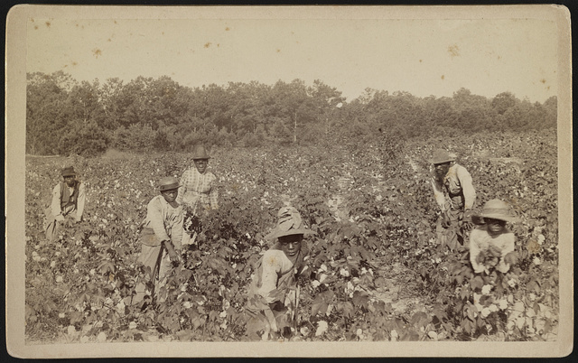 Picking cotton, Savannah, Ga., early Negro life