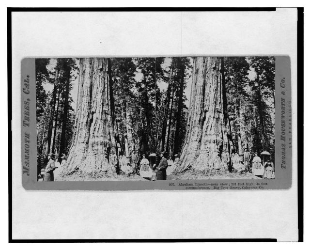 Mammoth trees, Cal. Abraham Lincoln, near view, 281 feet high, 44 feet circumference. Big Tree Grove, Calaveras Co.