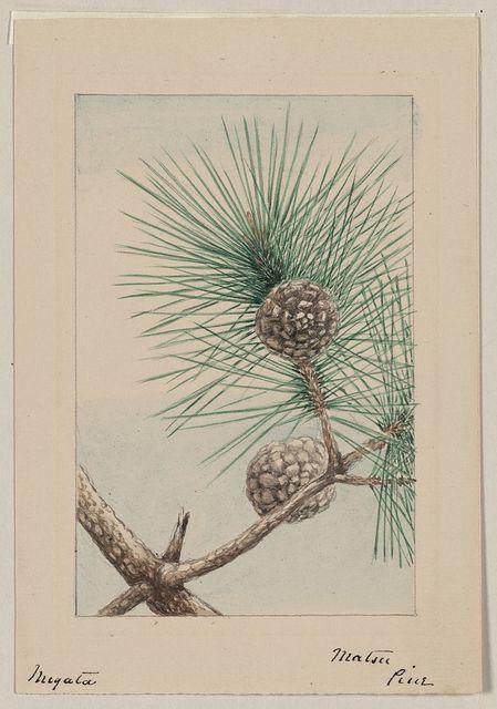 Matsu pine / Megata.