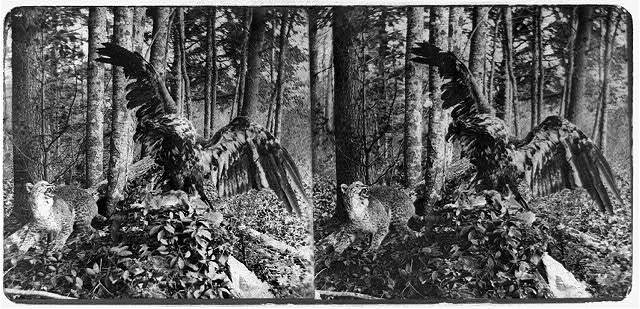 [Stuffed eagle and wildcat in forest setting] / by C.A. Sweester, Springfield, Mass.