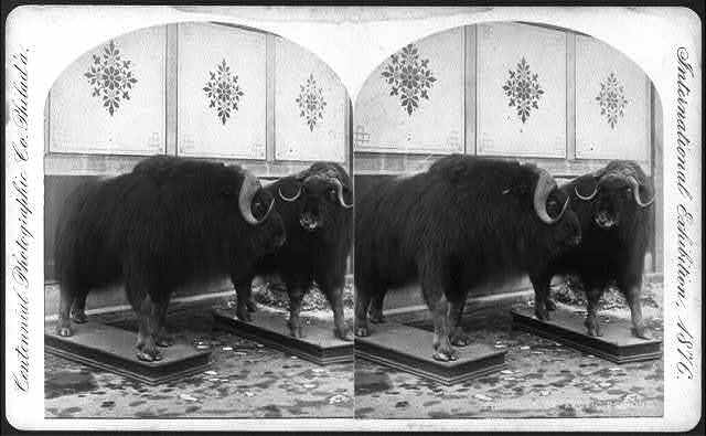 2 musk oxen of the Arctic Regions, which were mounted by a taxidermist, at the International Exhibition, Phila., Pa.
