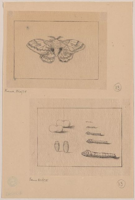 [Two views (top): silkworm moth; (bottom): larval stages of the silkworm]