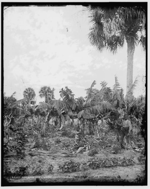 Banana plantation, Indian River
