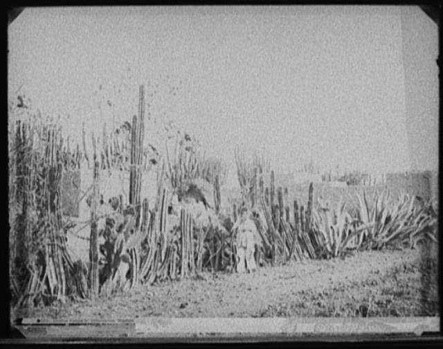 Cactus fence in Salamanca, Mexico