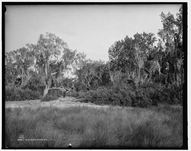 Cedar forest, A