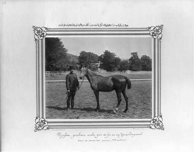 [Ceylan: The two year old gray Arabian foal born in the first section of the Imperial Stud Farm] / Constantinople, Abdullah Frères.
