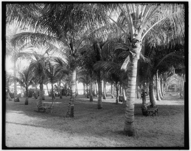 [Cocoanut grove at McCormick's, Lake Worth, Fla.]
