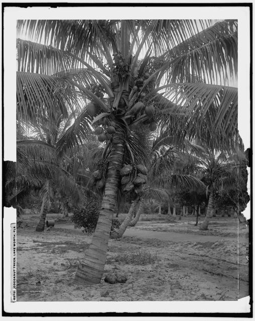 Cocoanut trees, Lake Worth, Fla.