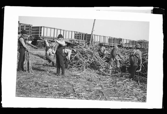 Cutting sugar cane in Louisiana