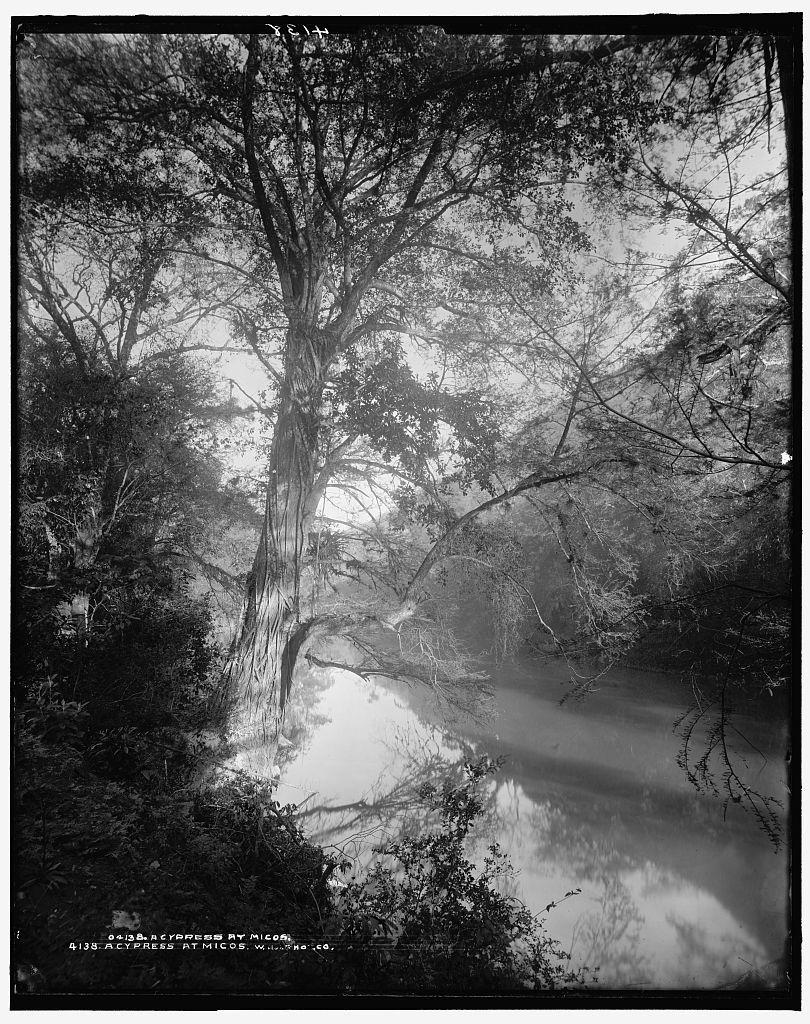 Cypress at Micos, A