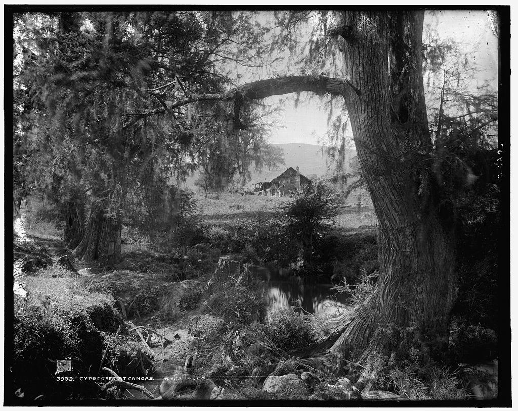 Cypresses at Canoas