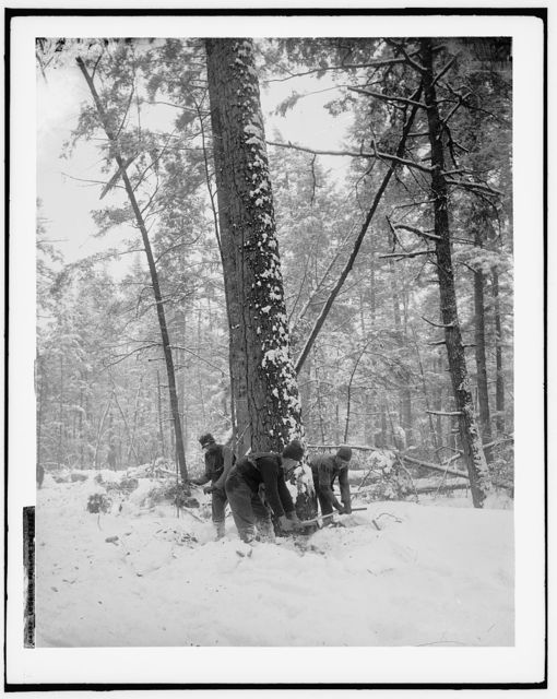 Logging, felling the tree
