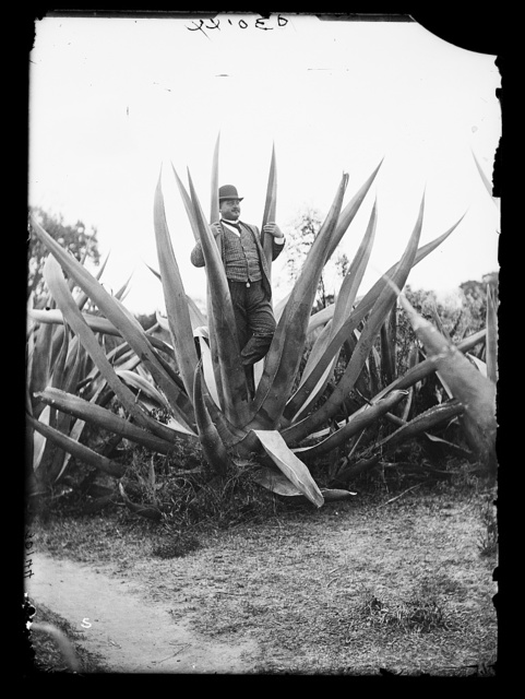 [Man in maguey, Mexico]