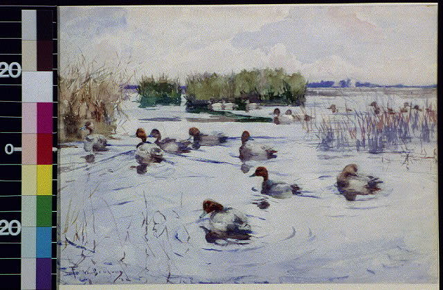 [Numerous ducks in pond]