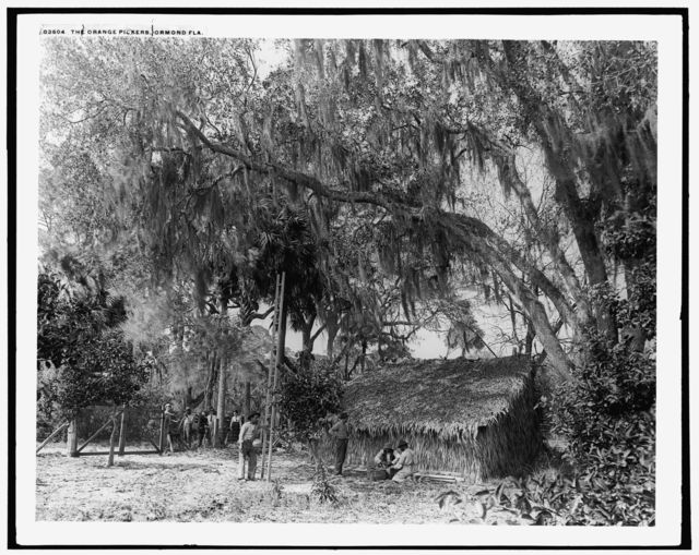 Orange pickers, Ormond, Fla.